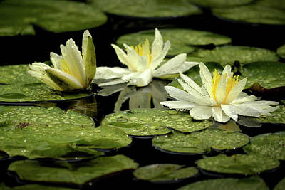 Photograph - Three White Water Lilies by Nadalyn Larsen