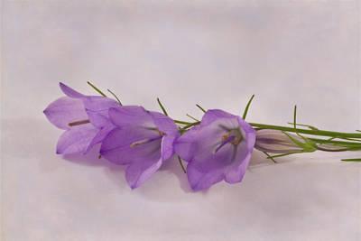 Three Wild Campanella Blossoms - Macro Art Print