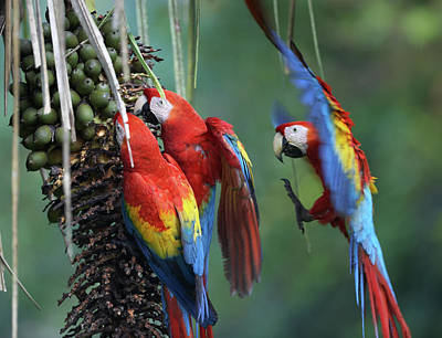 Photograph - Three Wild Scarlet Macaws Feeding On Palm Fr by Tim Fitzharris