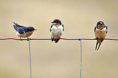 Swallow Photograph - Three Young Swallows by Laura Mountainspring