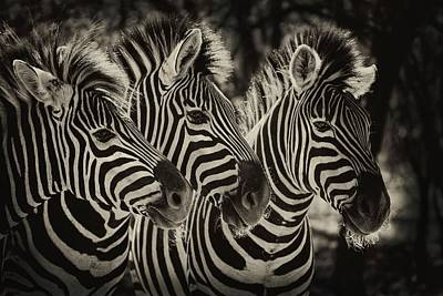 Three Zebra Art Print by Jan Van der Westhuizen