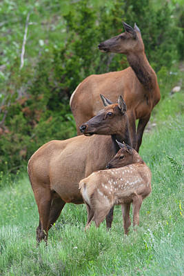 Photograph - Threesome Elk by Mark Miller
