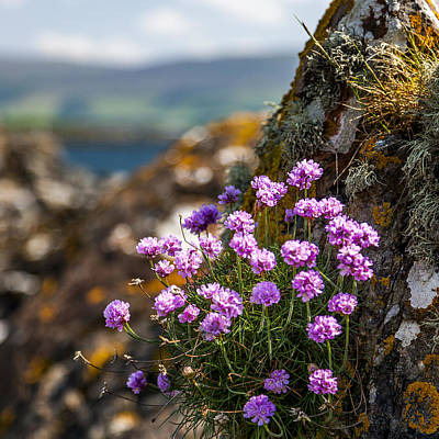 Photograph - Thrift Armeria Maritima by Alex Saunders