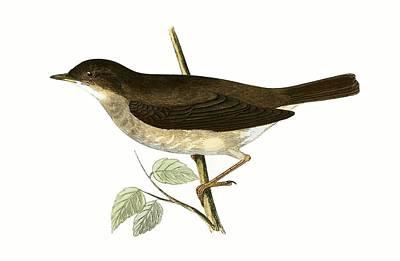 Flycatcher Wall Art - Painting - Thrush Nightingale by English School