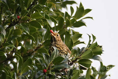Photograph - Thrush With A Holly Berry by Terri Waters