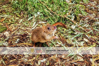 Photograph - Thumper The Woylie, Native Animal Rescue by Dave Catley