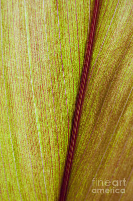 Photograph - Ti Leaf Close-up by Joe Carini - Printscapes