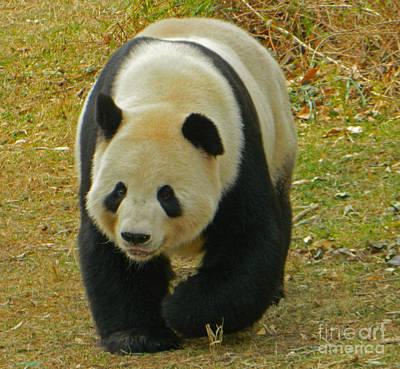 Tian Tian - Papa Panda Art Print by Emmy Marie Vickers