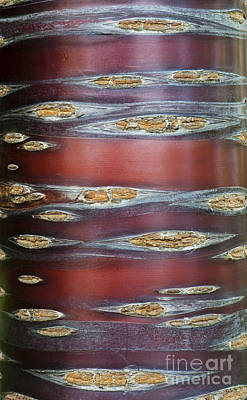 Rosaceae Photograph - Tibetan Cherry Tree Bark by Tim Gainey