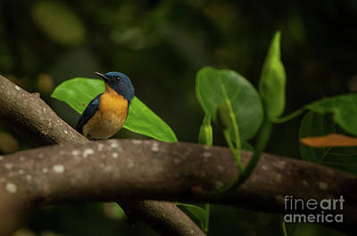 Photograph - Tickell's Blue Flycatcher by Venura Herath