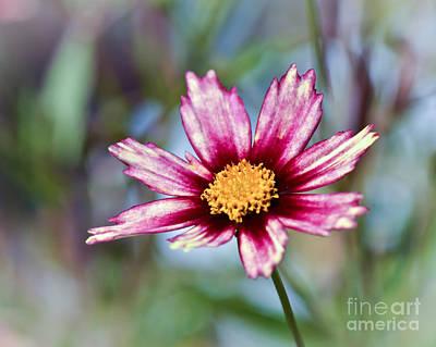 Photograph - Tickseed Flower by Kerri Farley