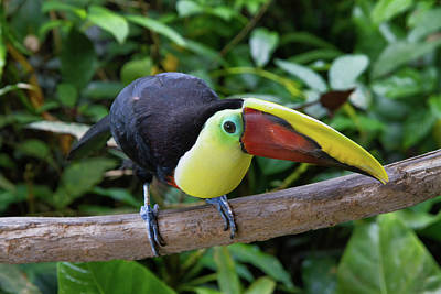 Photograph - Tico Toucan by Arthur Dodd