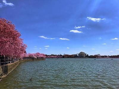 Photograph - Tidal Basin Cherry Blossoms by Chris Montcalmo