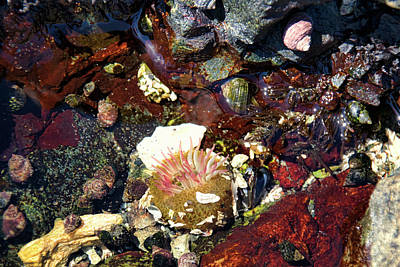 Photograph - Tide Pool - Sea Anemone And Shells by Peggy Collins
