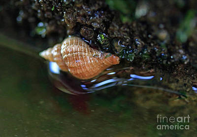 Photograph - Tidepool Snail by Mary Haber