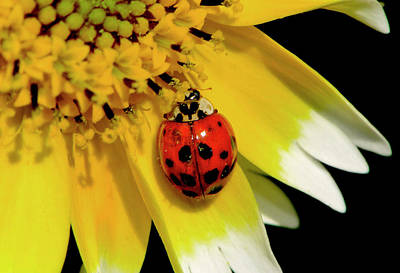 Photograph - Tidy Tips And A Ladybug 002 by George Bostian