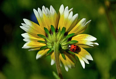 Photograph - Tidy Tips And A Ladybug 004 by George Bostian