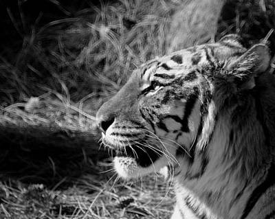 Photograph - Tiger 2 Bw by Ernie Echols
