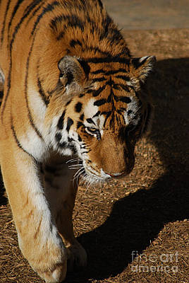 Photograph - Tiger 20150117_452 by Tina Hopkins