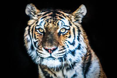Tiger Mixed Media - Tiger 2017 by David Millenheft