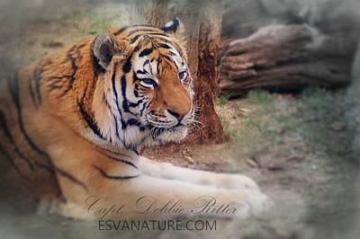 Photograph - Tiger 5896 by Captain Debbie Ritter