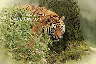 Photograph - Tiger 5903 by Captain Debbie Ritter