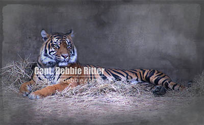 Photograph - Tiger 9386 by Captain Debbie Ritter