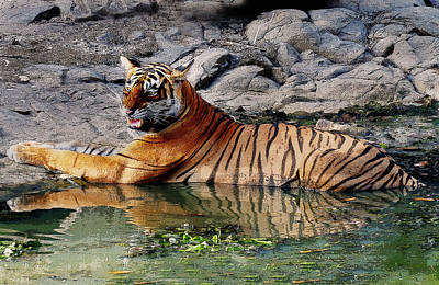 Photograph - Tiger Aggression  by Manjot Singh Sachdeva