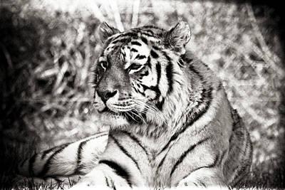Tiger Art Print by Angela Aird