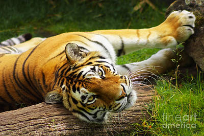 Photograph - Tiger by Angela Doelling AD DESIGN Photo and PhotoArt