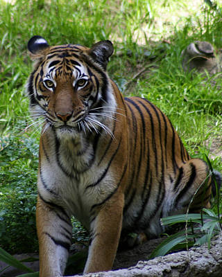 Photograph - Tiger by Anthony Jones