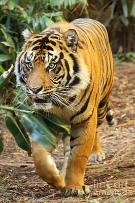 Photograph - Tiger Approaching by Max Allen