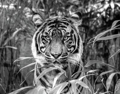Tiger B/w Art Print