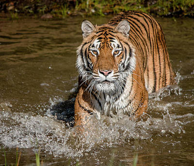Photograph - Tiger Beauty by Teresa Wilson