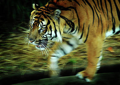Photograph - Tiger Burning Bright by Rebecca Sherman