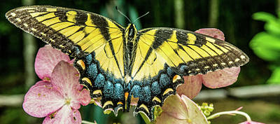 Photograph - Tiger Butterfly With Wings Spread by Douglas Barnett