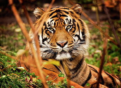 Christina Conway Royalty-Free and Rights-Managed Images - Tiger by Christina Conway
