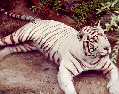 Photograph - Tiger - Cooling Off - In The - Water by D Hackett
