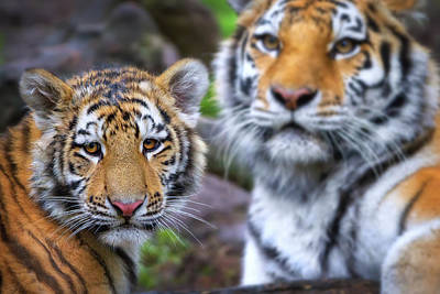 Photograph - Tiger Cub And Mom  by Emmanuel Panagiotakis