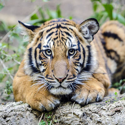 Photograph - Tiger Cub Portrait Headshot by William Bitman