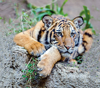 Photograph - Tiger Cub Portrait Resting His Head On His Foreleg by William Bitman