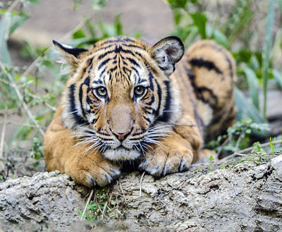 Photograph - Tiger Cub Portrait by William Bitman
