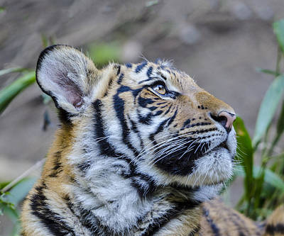 Photograph - Tiger Cub Profile Headshot by William Bitman