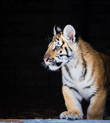 Photograph - Tiger Cub by Serge Skiba