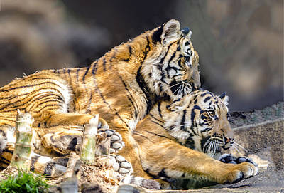 Photograph - Tiger Cub Siblings by William Bitman