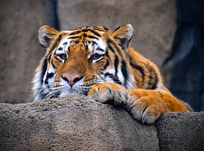 Photograph - Tiger Daydreams by Chandler Walker