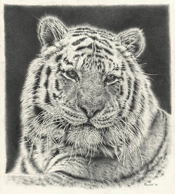 Best Sellers - Animals Drawings - Tiger Drawing by Casey