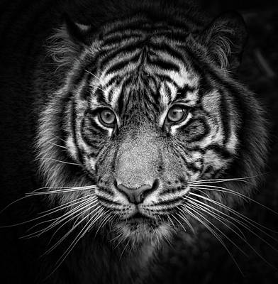 Photograph - Tiger Eyes Bw by Athena Mckinzie
