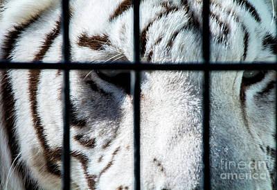 Photograph - Tiger Eyes by Deborah Klubertanz