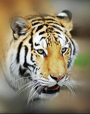 Mgp Photograph - Tiger Eyes by Michael Peychich